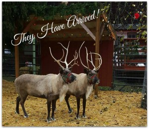 Reindeer in the Northwest